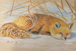 Red Fox napping on snow