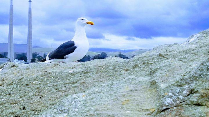Seagull - Rachel Csontos