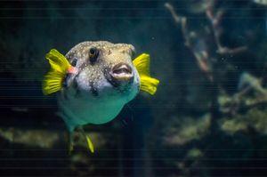 Figaro Fish