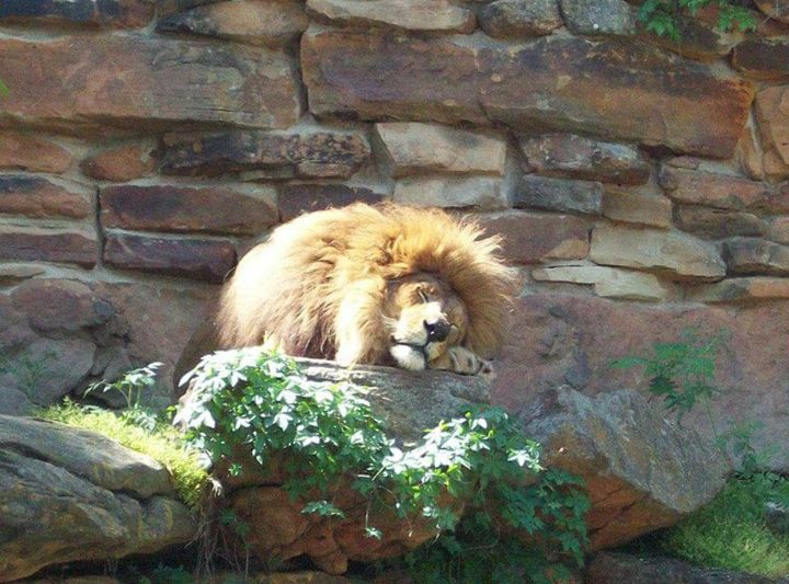 The Peaceful Lion - Outdoor Dreams