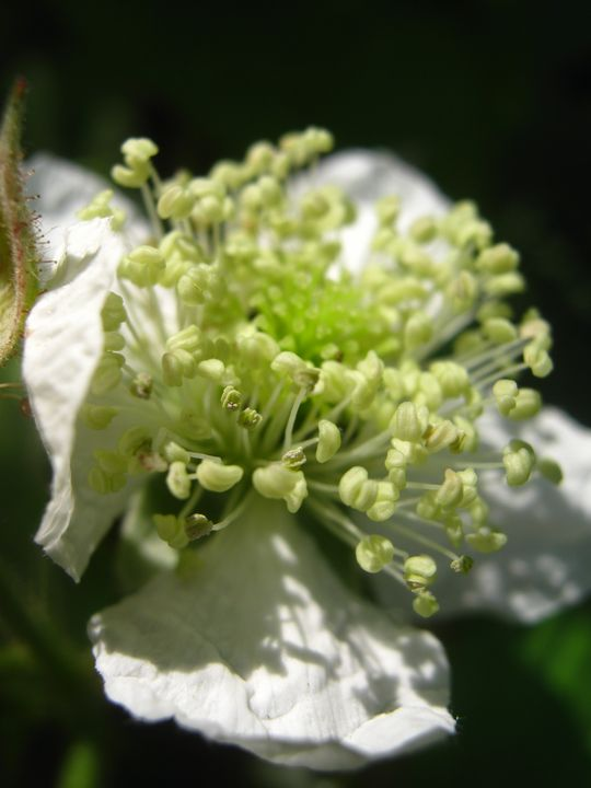 Blackberry flower - nature's window