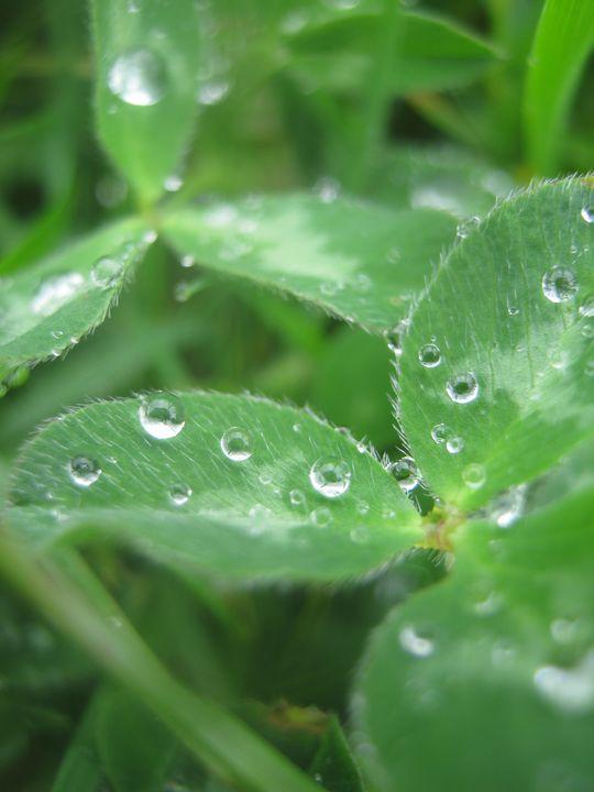 Clover drops - nature's window