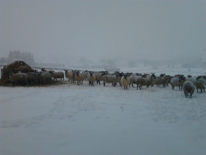 Snow covered sheep - nature's window
