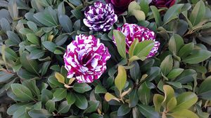 Striped painted roses