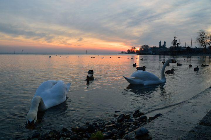 Swan Lake - Aida Selenica