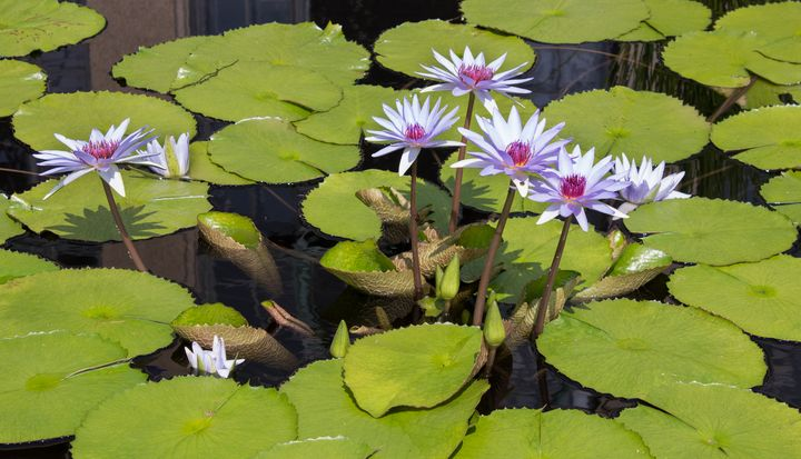 Lotus Cluster - Southern Grace Photography