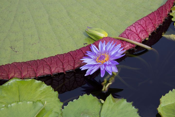 Lotus - Southern Grace Photography