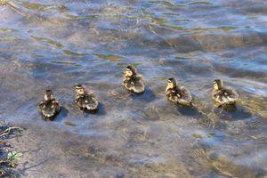 Duck babies