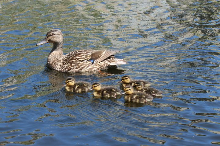 Duck Family - Southern Grace Photography