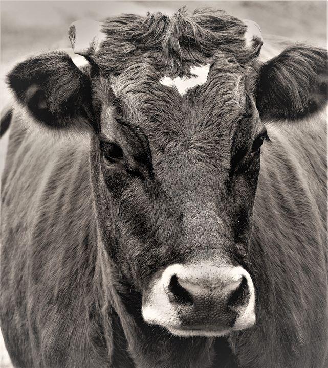 Cow in Black & White - 1 - Jennifer Hogan