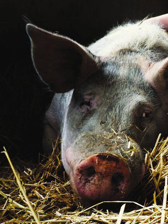 Pig Resting in Bed of Straw - Jennifer Hogan
