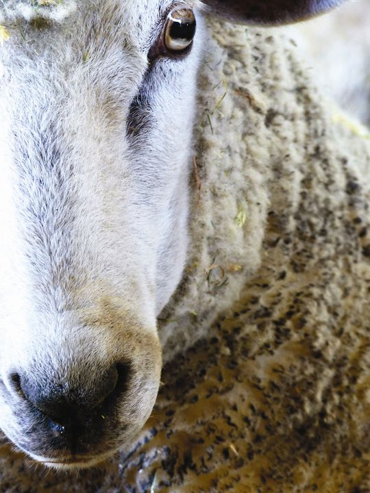 Lamb Closeup - Jennifer Hogan