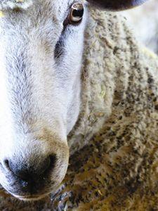 Lamb Closeup - Jennifer Hogan