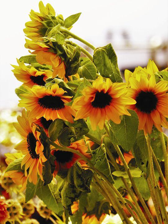 Sunflowers 1 - Jennifer Hogan