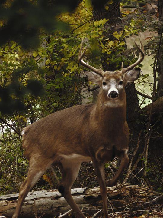 Deer in the Woods 1 - Jennifer Hogan