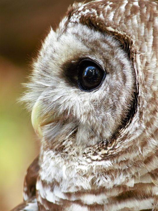 Barred Owl - Jennifer Hogan