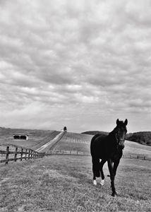 Black Horse in Field BW 1