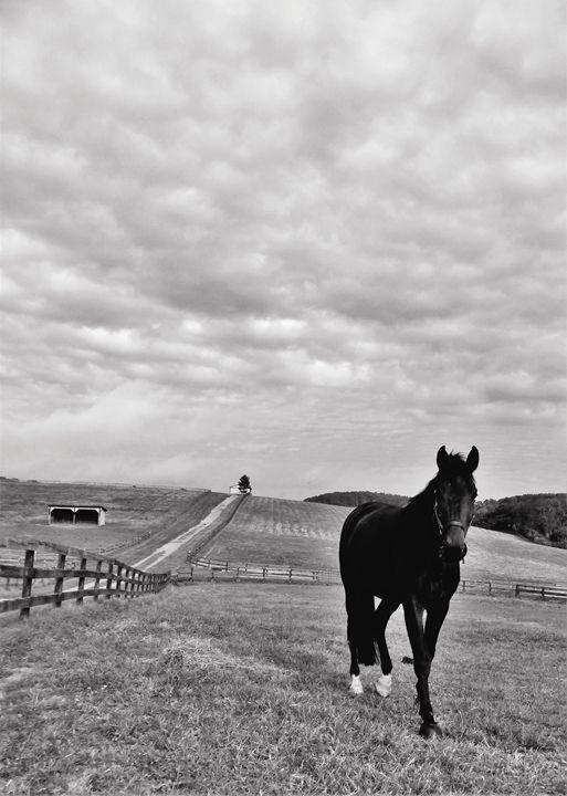 Black Horse in Field BW 1 - Jennifer Hogan
