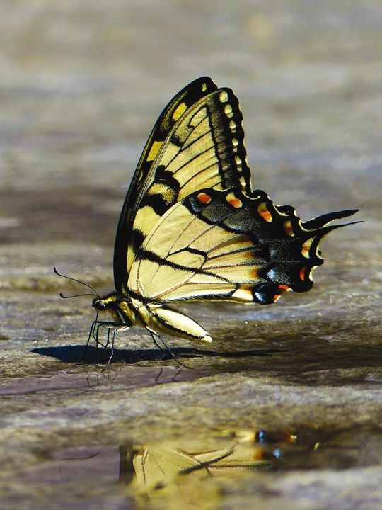 Yellow & Black Butterfly - Jennifer Hogan