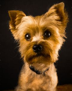 Classic Yorkie Pose - Foto By Rudy