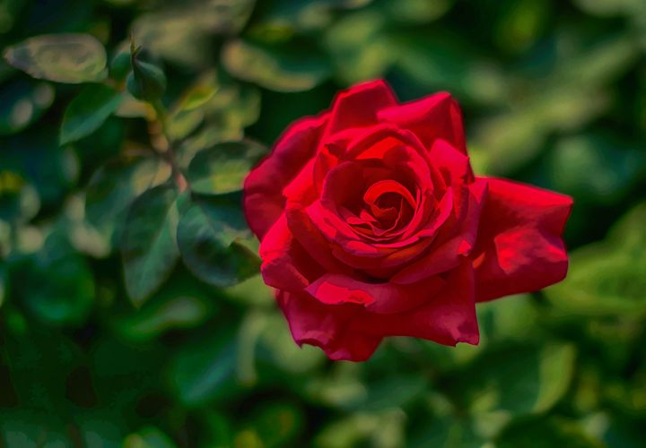 The Always Beautiful Red Rose - Foto By Rudy