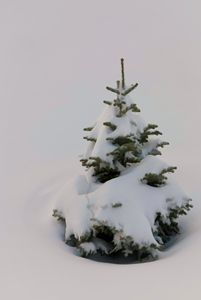 Pine Tree in the Snow - Foto By Rudy