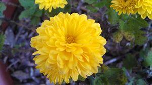 Yellow Zinnia - Stock Nature