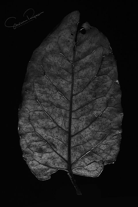 Leaf - Steven G. Ryan