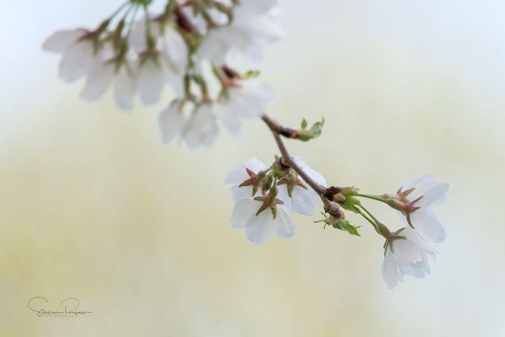 Sakura - Steven G. Ryan