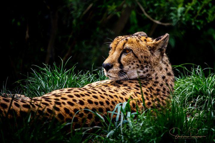 Resting Cheetah - Steven G. Ryan