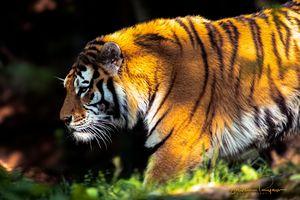 Amur Tiger - Steven G. Ryan
