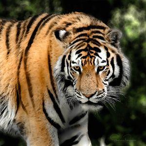Watercolor Tiger - Steven G. Ryan