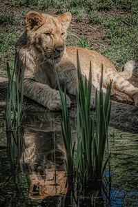 Cub King