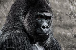 Lowland Gorilla - Steven G. Ryan