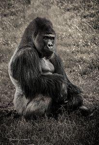 Lowland Gorilla_full - Steven G. Ryan