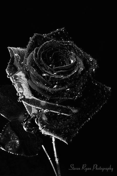 Dark Rose - Steven G. Ryan