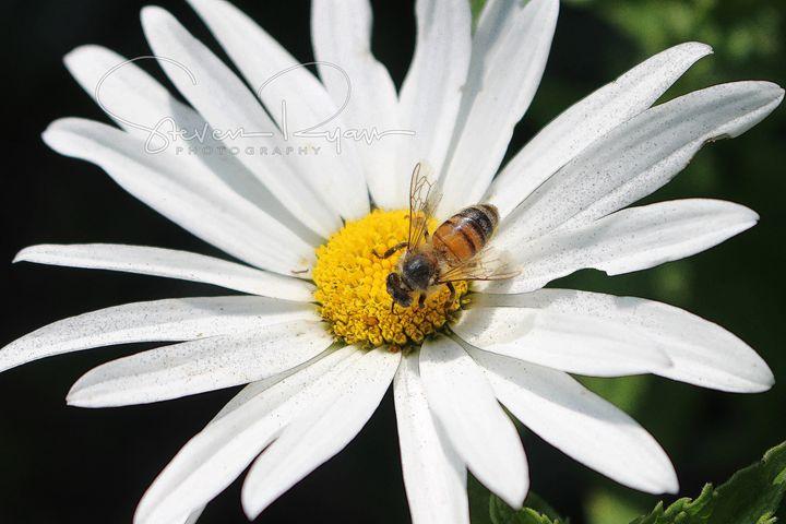 Bee Daisy - Steven G. Ryan
