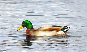 Mallard Duck on Glass Water