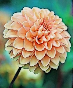 Perfect Petals of the Dahlia - Xpressions of Creation