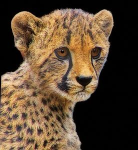 Cheetah Cub - Xpressions of Creation