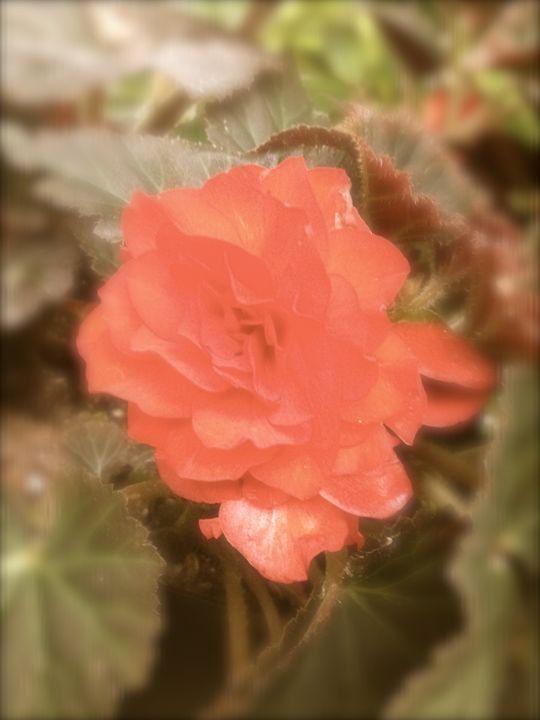Antique Rose - Art by Autumn
