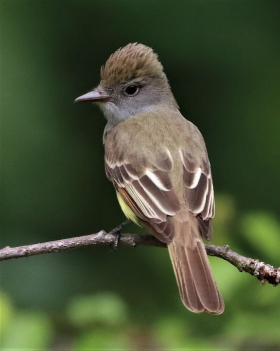 Great Crested Flycatcher - Paul Vig Photography