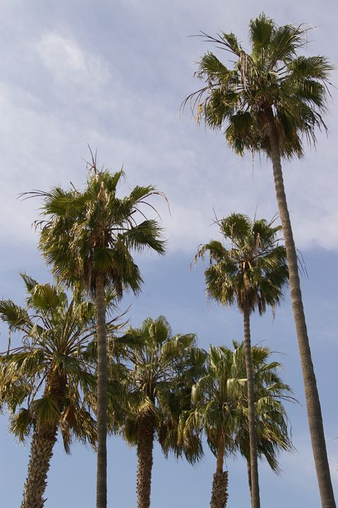 California Palmtrees - Bee