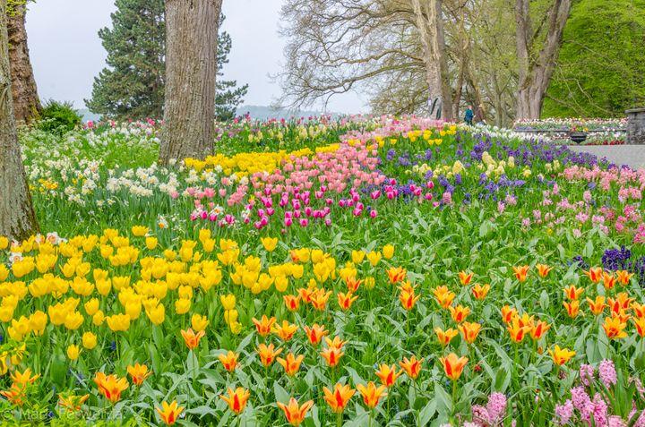 Tulips galore - MDF Photos