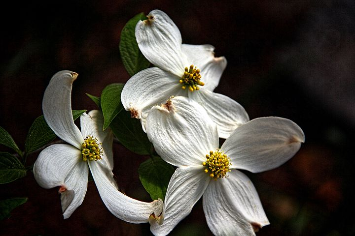 Dogwood Trio - Irene Tolvay Dowdy Fine Art Photography