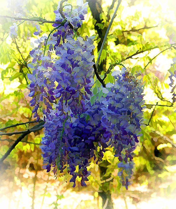 Beautiful Wisteria - Irene Tolvay Dowdy Fine Art Photography