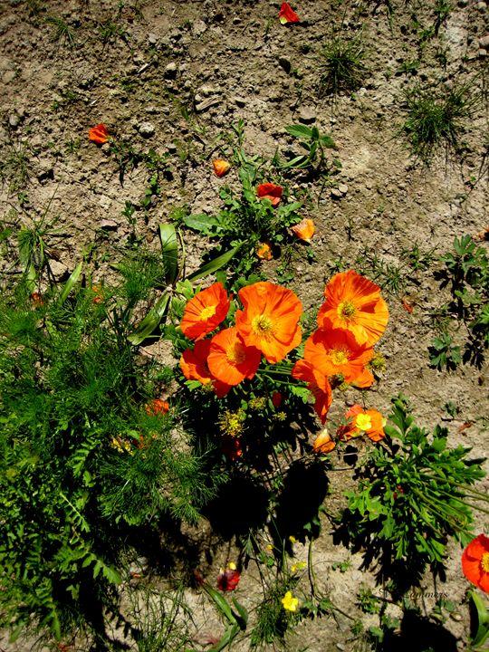 Poppies 2 - Viveca Lammers
