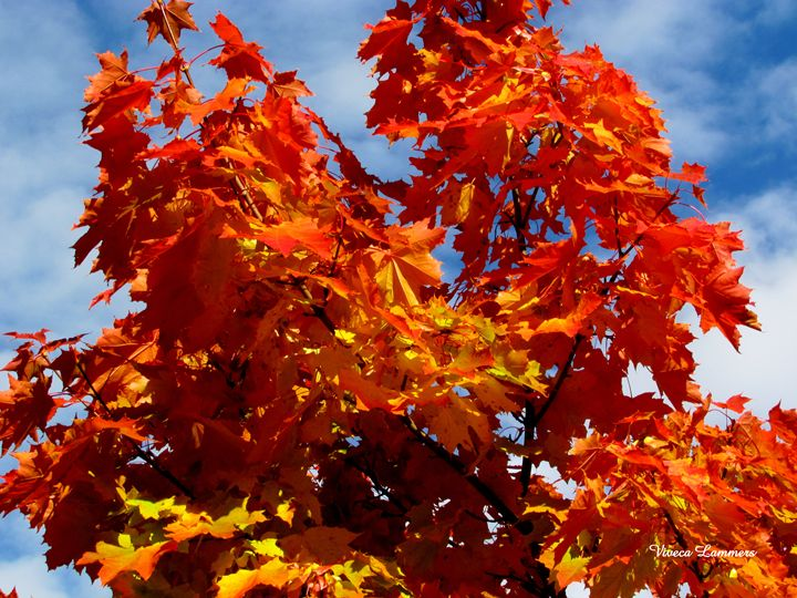 Colorful maple - Viveca Lammers