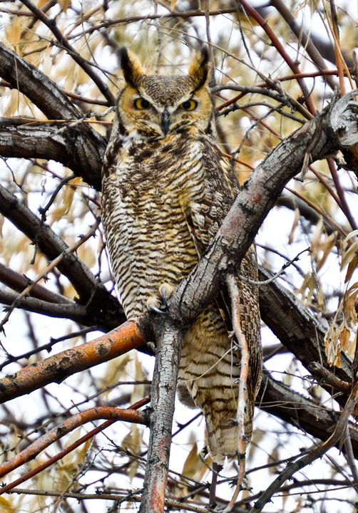 Great Horned Owl - A & B Martin Photography