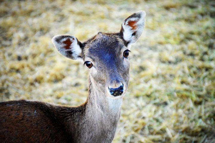 Beautiful Brown Deer - A & B Martin Photography